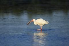 White ibis (eudocimus albus) Stock Photos