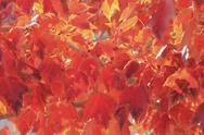 Stock Photo of close up of red maple leaves