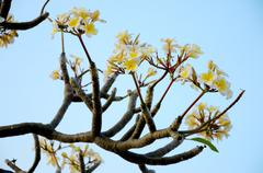 Stock Photo of frangipani flower with blue sky