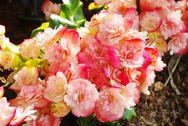 Nice pink flower in garden Stock Photos