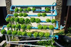 Hydroponic vegetable (green oak) Stock Photos