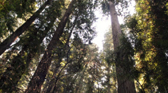 Redwood Trees, upward angle, fog Stock Footage