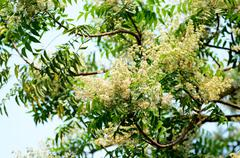margosa flower or neem flowers in thailand - stock photo