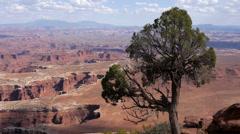 Tree Juniper Canyonlands Wilderness - stock footage