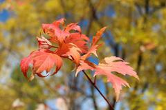 Punaisia lehtiä roikkuu puussa Kuvituskuvat