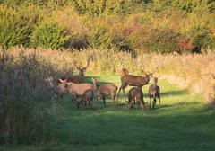 herd of wary deer in the fall at sunset - stock photo