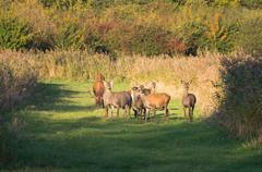 herd of deer in the fall at sunset - stock photo