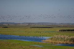 flock of barnacle geese - stock photo