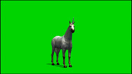 Stock Video Footage of White Unicorn look around - separated on green screen