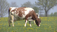 Stock Video Footage of Grazing Red Holstein dairy cow, springtime - on camera