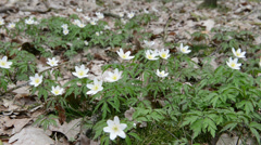 Wood Anemone Stock Footage