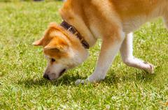 Shiba inu spitz breeds of dog from japan snuff the prey Stock Photos