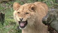 Stock Video Footage of Lion, cub, juvenile, ferocious, teeth, fangs, savage, attack, aggressive, Snarls