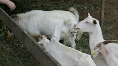 Goats fight for food and farmer warns them to behave Stock Footage