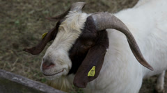Close shot of a goat with huge horns Stock Footage