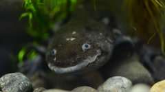 The axolotl salamander (ambystoma mexicanum) aslo known as mexican salamander Stock Footage
