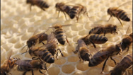 Stock Video Footage of Bees build honeycombs 5709 K