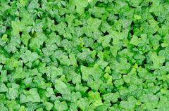 Green carpet of ivy Stock Photos