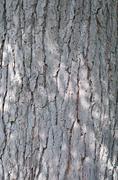 Kentucky coffeetree bark Stock Photos