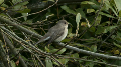 Spotted Flycatcher (Muscicapa striata) Stock Footage