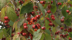 Euonymus, spindle tree in bloom Stock Footage