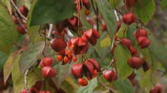 Euonymus, spindle tree in bloom - close up Stock Footage