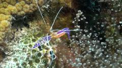 Caribbean anemone, shrimp with eggs, Curacao Stock Footage