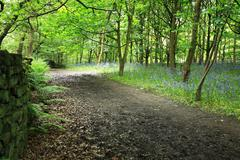 bluebells in the woods - stock photo