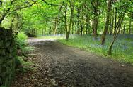 Stock Photo of bluebells in the woods