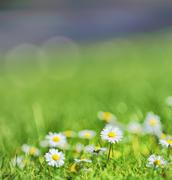 white daisies on the field - stock photo