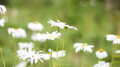 Field of daisies - stock footage