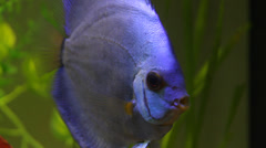 Blue discus fish in aquarium Stock Footage