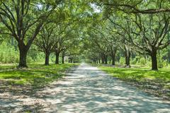 plantation drive - stock photo