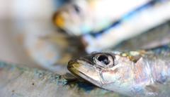 Sardine - stock photo