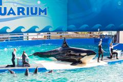 lolita,the killer whale at the miami seaquarium - stock photo