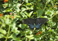 Black swallowtail (papilio polyxenes) Stock Photos