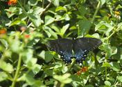 Stock Photo of black swallowtail (papilio polyxenes)