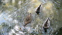 Ducks in polluted waters - stock footage