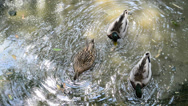 Stock Video Footage of Ducks in polluted waters