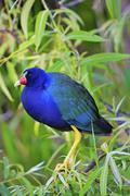 Purple gallinule (porphyrula martinica) Stock Photos