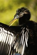 Anhinga (anhinga anhinga) male with breeding colors Stock Photos