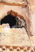 Gray langur playing at taragarh fort, bundi, india Stock Photos