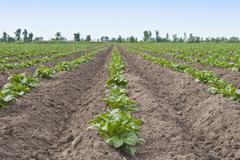 potato patch - stock photo