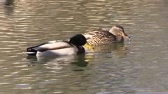 Hen and Drake Mallard Stock Footage