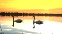Swan in the  beautiful lake Stock Footage