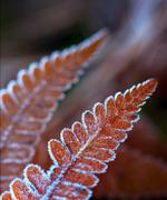 fern leaf with ice crystals - stock photo