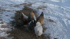 Chicken feeding on scratch family flock winter 4K 0009 Stock Footage