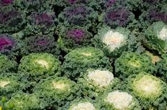 ornamental leaved kale - stock photo