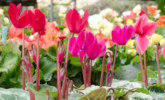 Cyclamen hederifolium - stock photo