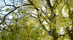 Tree leaves in autumn Stock Footage